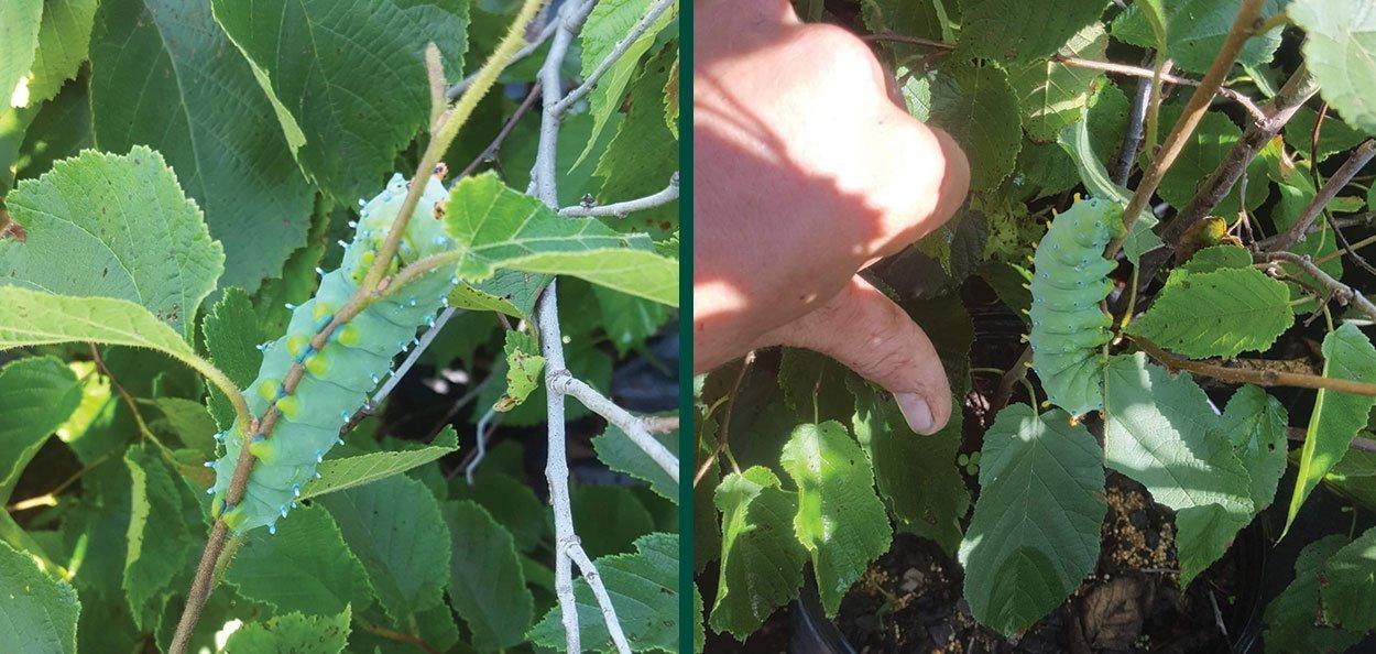 american filbert hazelnut corylus americana cecripia moth caterpillar on leaf