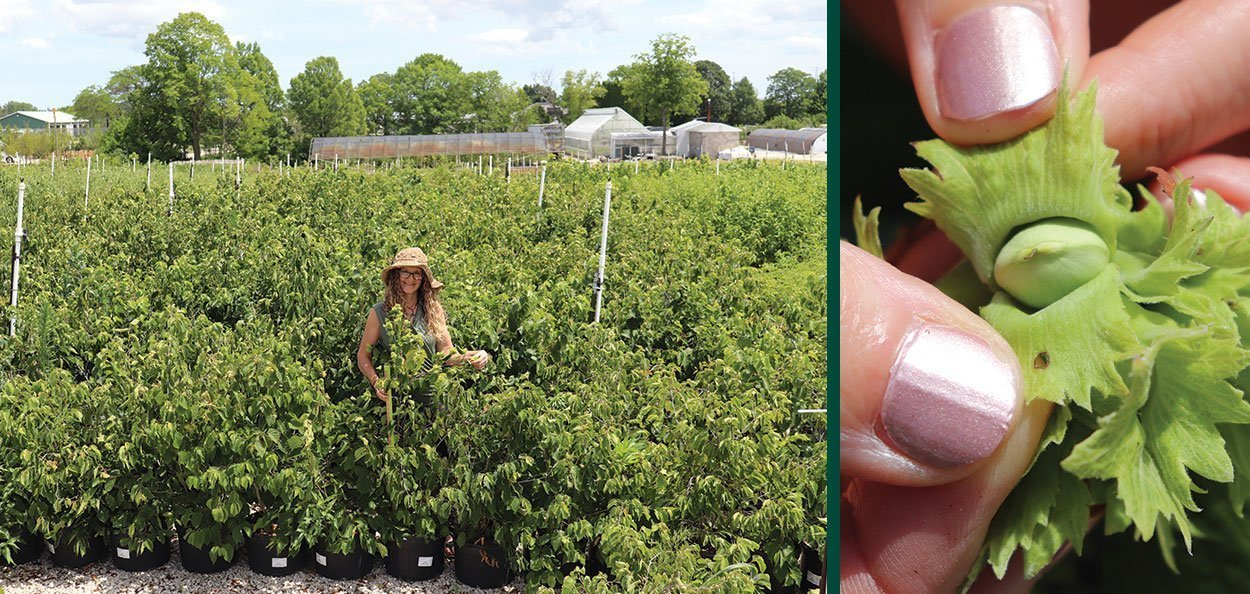 american filbert hazelnut corylus americana new salable crop in July #5 containers with developing nuts