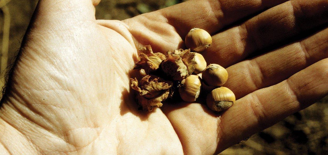 american filbert hazelnut corylus americana nuts