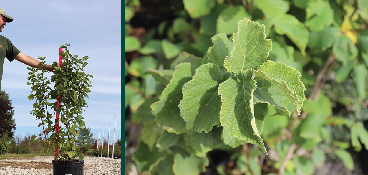 american filbert hazelnut corylus americana wisconsin native shrub container foliage leaf