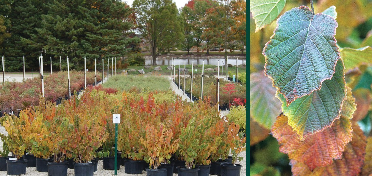 american filbert hazelnut corylus americana wisconsin native shrub fall foliage vibrant red orange leaf