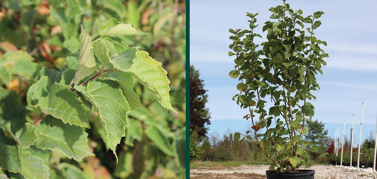 american filbert hazelnut corylus americana wisconsin native shrub foliage container