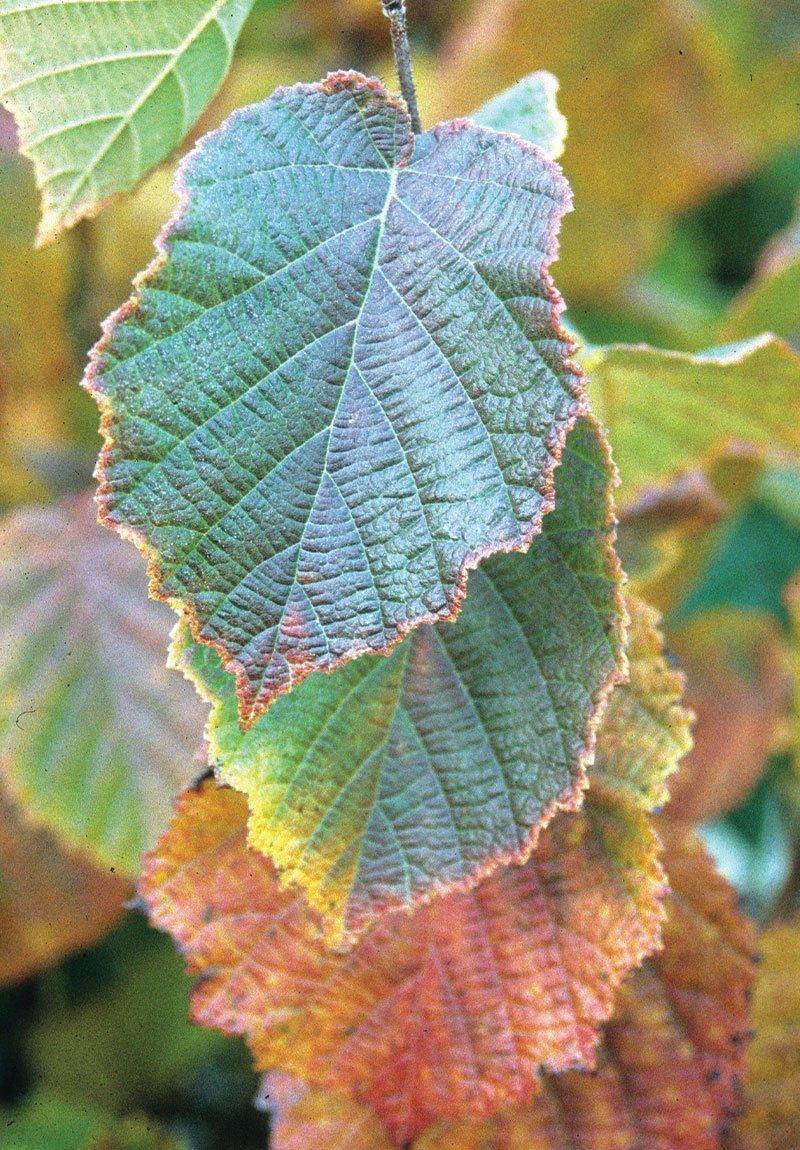 american filbert hazelnut corylus americana wisconsin native shrub johnson's nursery menomonee falls ftimg