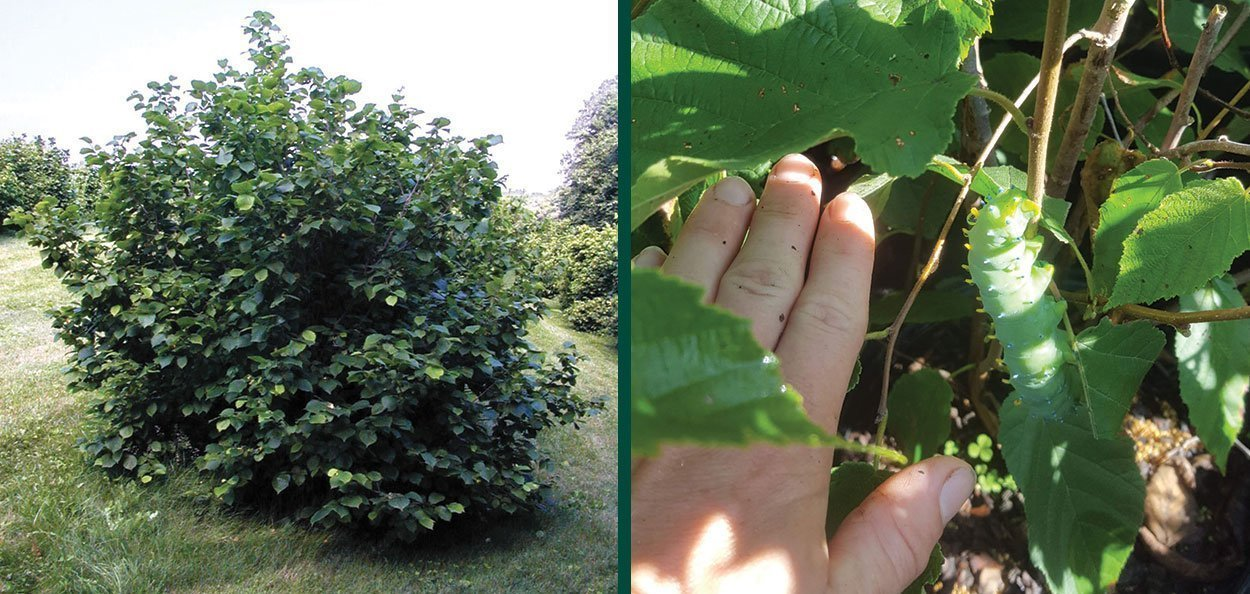 american filbert hazelnut corylus americana wisconsin native shrub mature big shrub