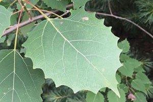 bigtooth aspen populus grandidentata large teeth on leaves catalog