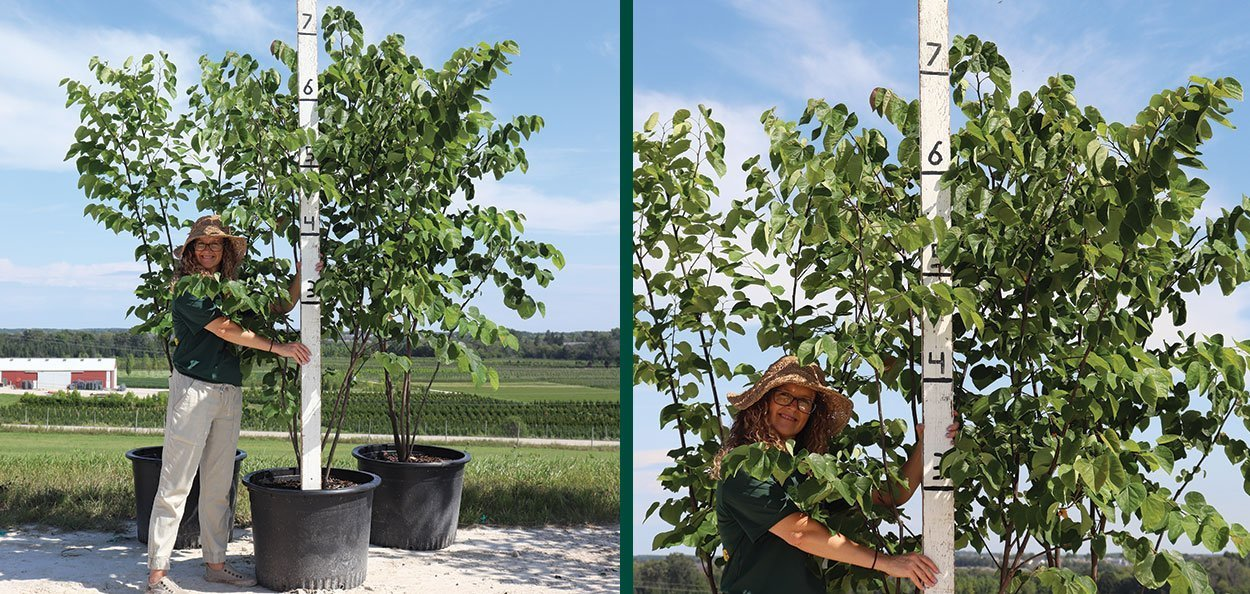eastern redbud tree #25 container multi stem at johnson's nursery