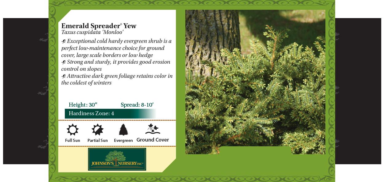 Emerald Spreader Yew Taxus cuspidata 'Monloo' benchcard