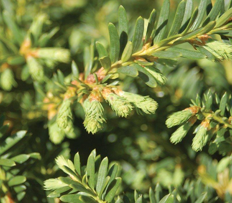 emerald spreader yew taxus cuspidata monloo ftimg