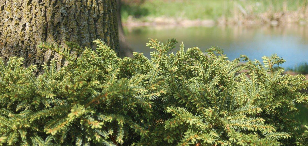 emerald spreader yew taxus cuspidata monloo groundcover low growing conifer