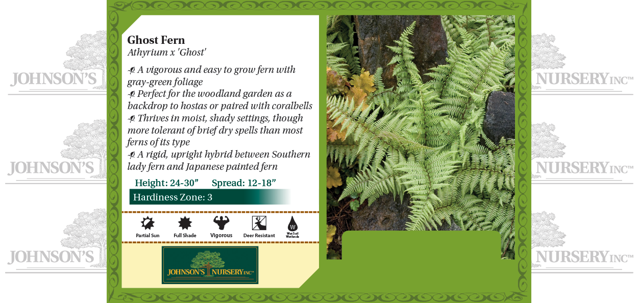 ghost fern athyrium shade garden perennial ferns johnson's nursery wisconsin benchcard