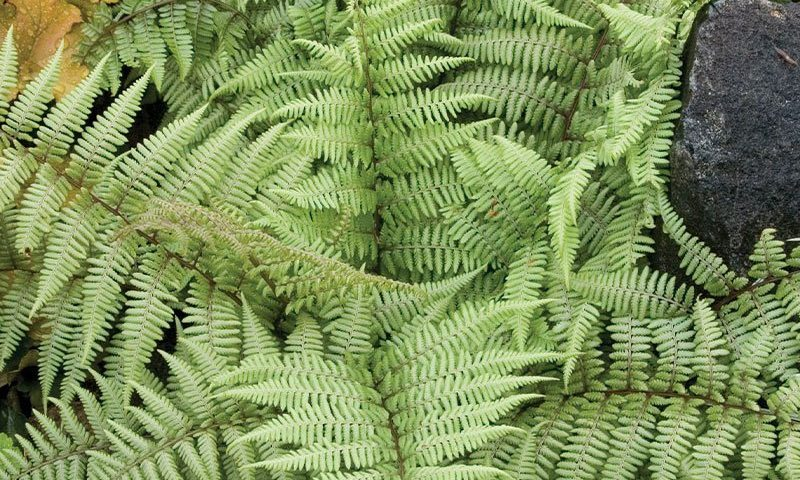 ghost fern athyrium shade garden perennial ferns johnson's nursery wisconsin ftimg