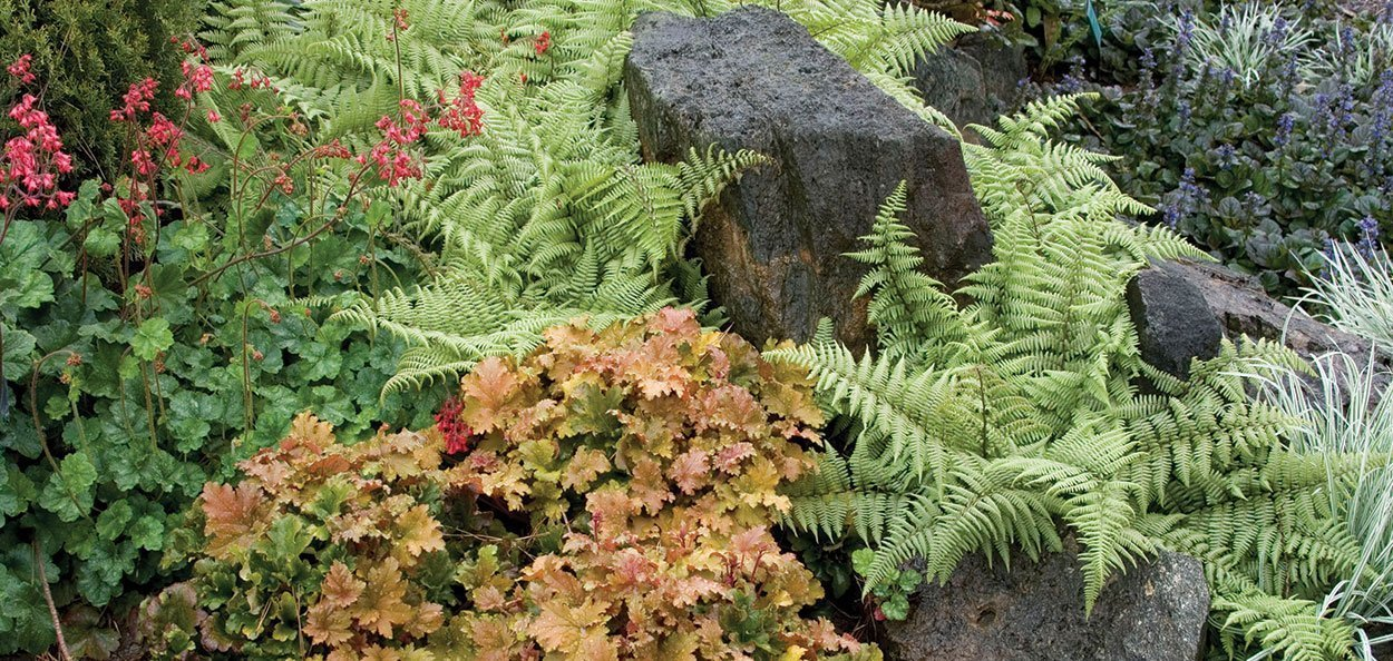ghost fern athyrium shade rock garden perennial ferns for sale near you