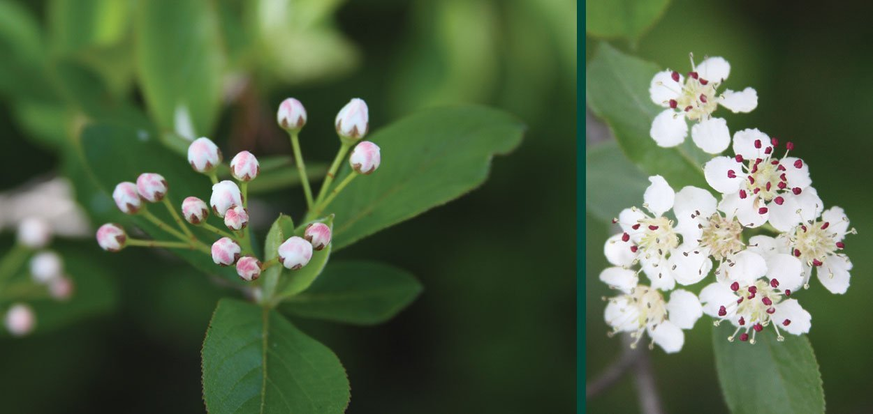 glossy black chokeberry aronia melanocarpa var elata spring buds flowers native shrub