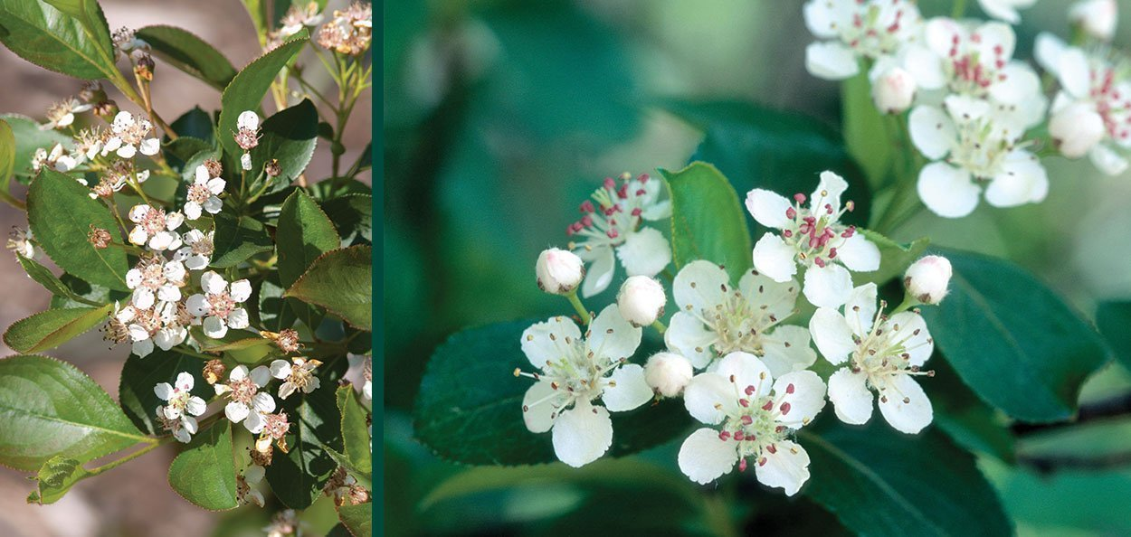 glossy black chokeberry aronia melanocarpa var elata spring flowers native shrub