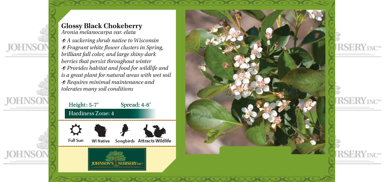 glossy black chokeberry aronia melanocarpa var elata wisconsin native shrubs benchcard