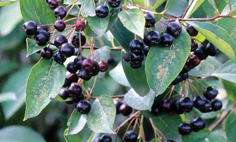 glossy black chokeberry aronia melanocarpa var elata wisconsin native shrubs ftimg