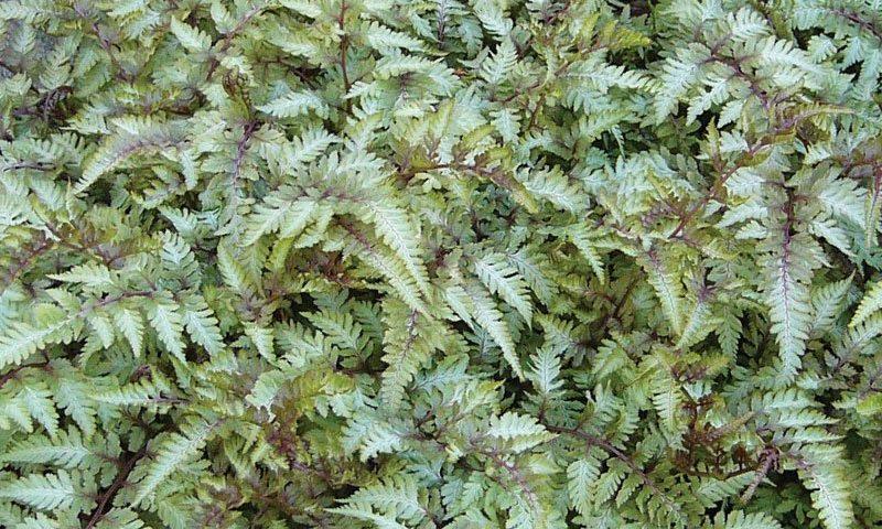 japanese painted fern athyrium nipponicum pictum shade garden perennials ftimg