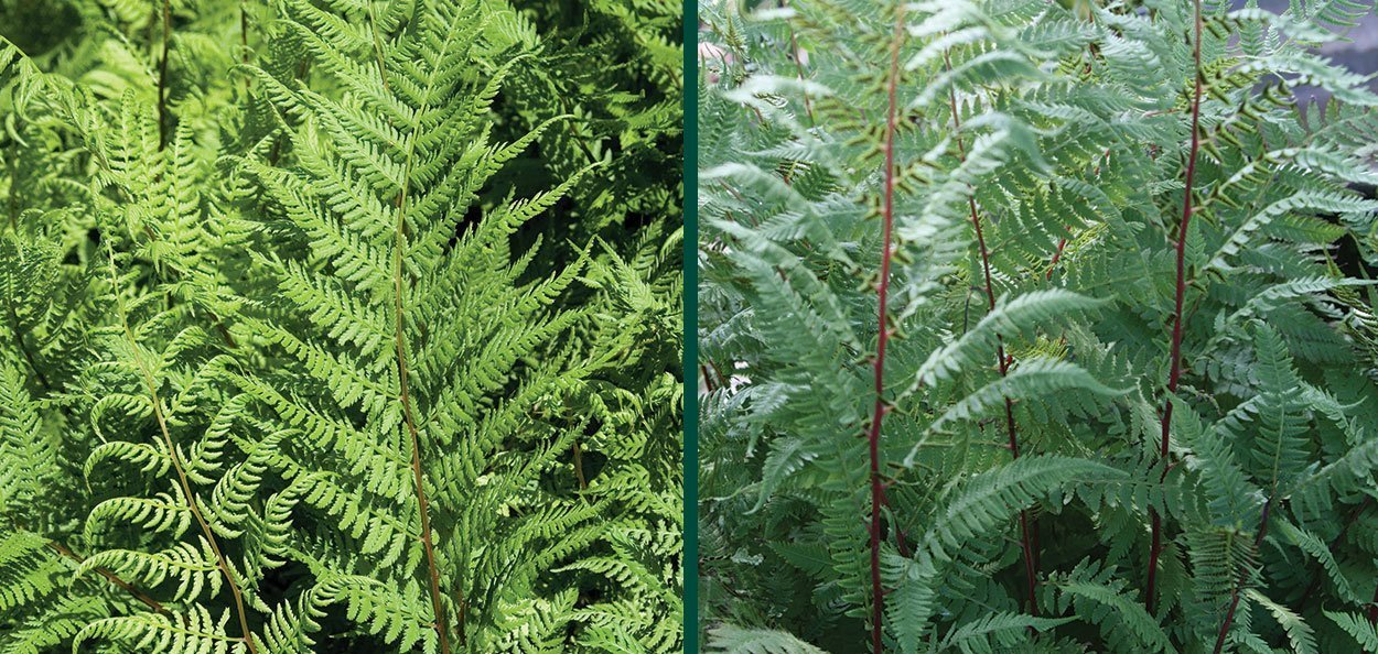 lady in red fern athyrium filix-femina perennial ferns plants johnson's nursery menomonee falls