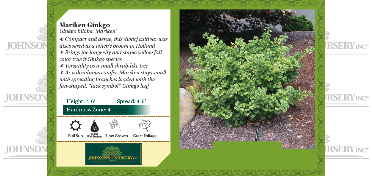 mariken ginkgo biloba johnson's nursery benchcard