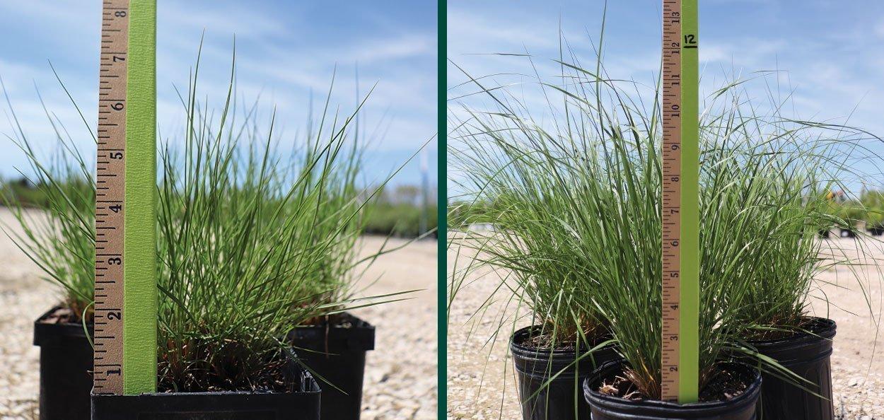 prairie dropseed sporobolus heterolepis at johnson's nursery quart #1 container spring sizes