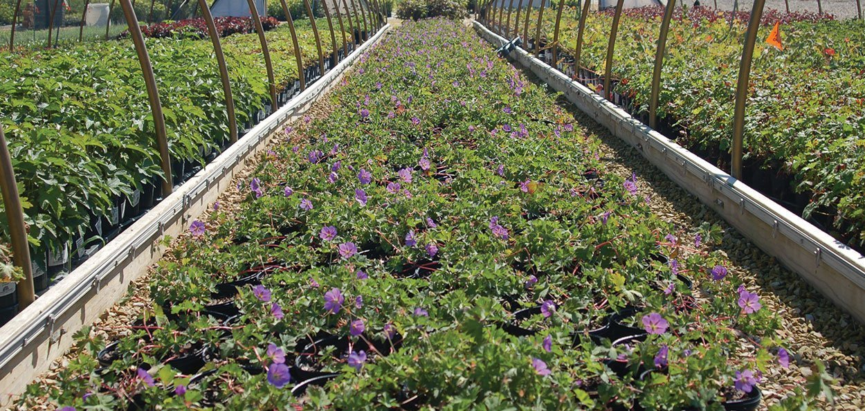 rozanne geranium johnson's nursery propagation perennial bed