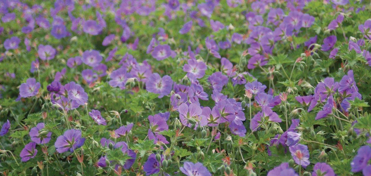 rozanne geranium mass perennial growing purple flower bed