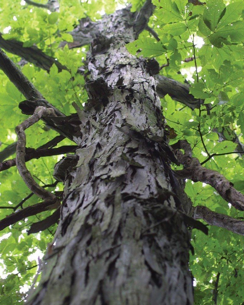 shagbark hickory carya ovata wisconsin native tree johnson's nursery ftimg
