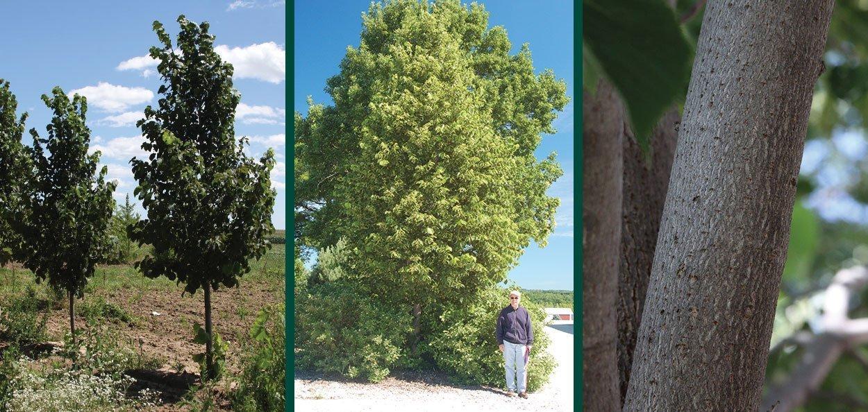 sweet street linden tilia americana kromm field tree bark