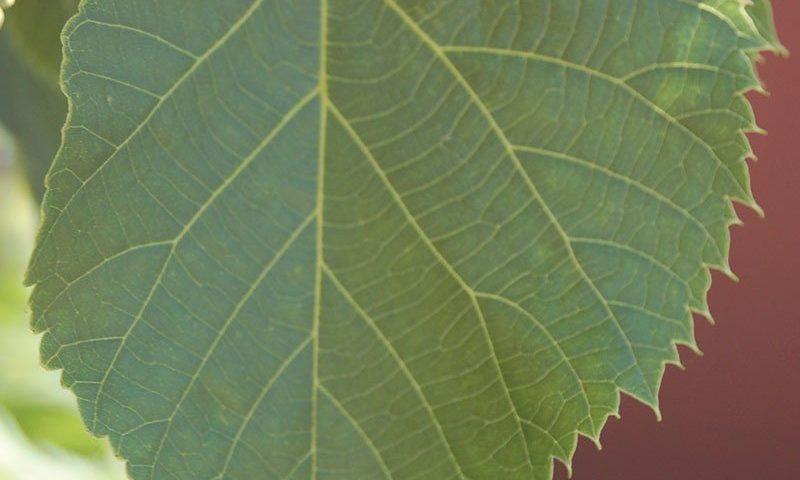 sweet street linden tilia americana kromm ftimg