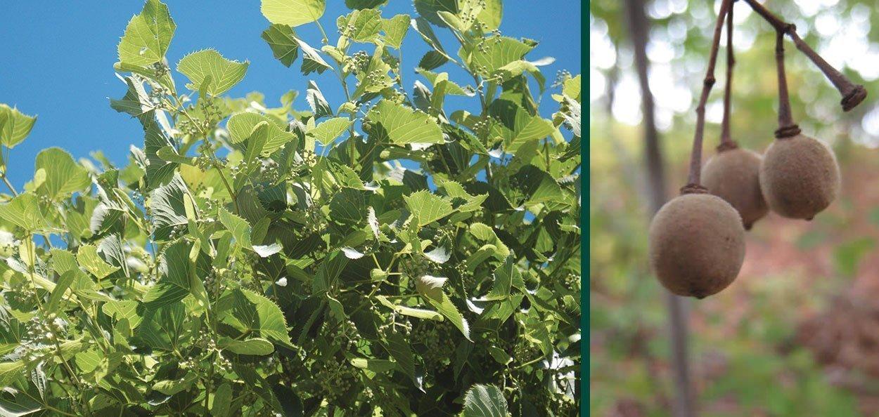 sweet street linden tilia americana kromm nutlet buds foliage johnson's nursery menomonee falls