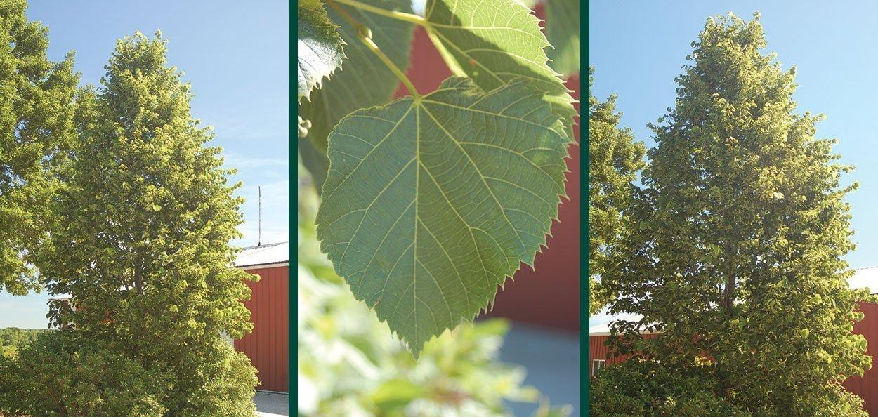 sweet street linden tilia americana kromm pyramidal shade tree serrated leaf sawtooth