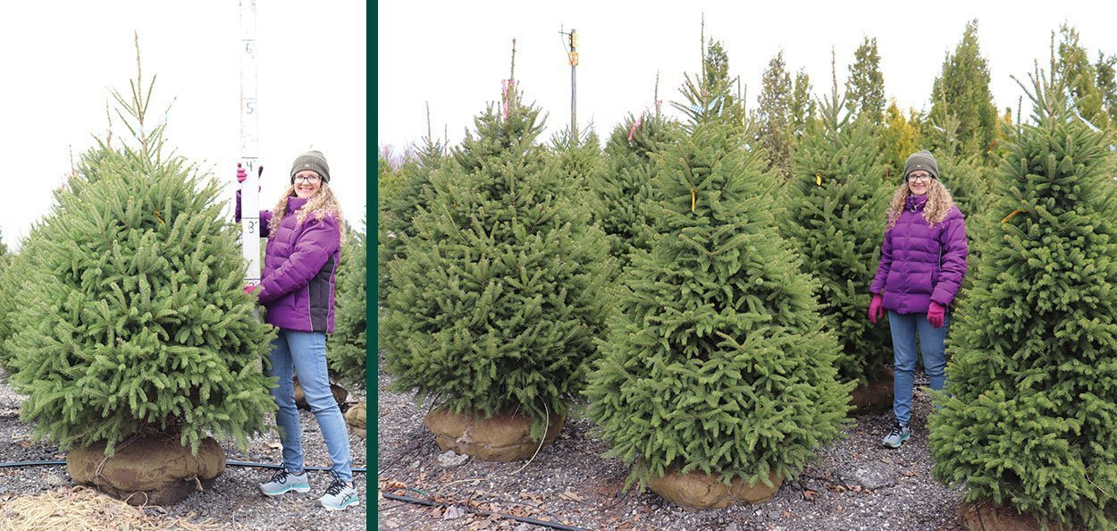 white spruce picea glauca landscape property green screen b&b conifers