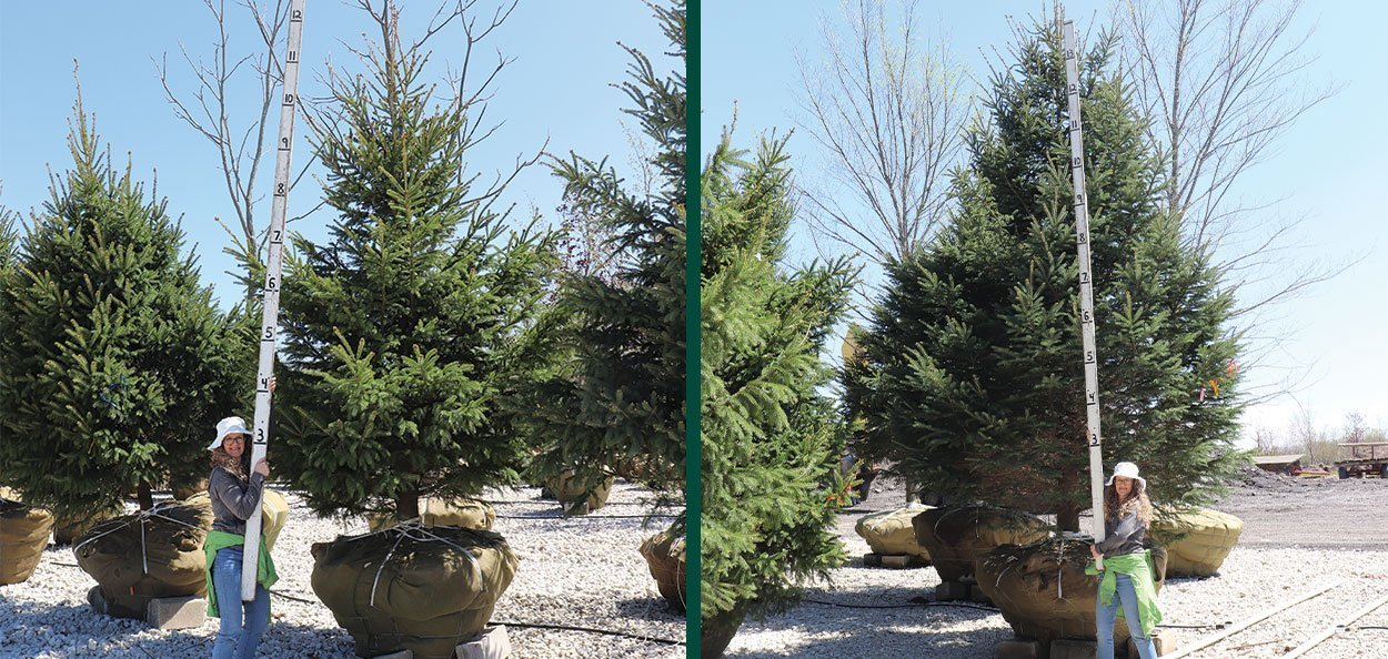 white spruce picea glauca specimen conifer evergreen green screen