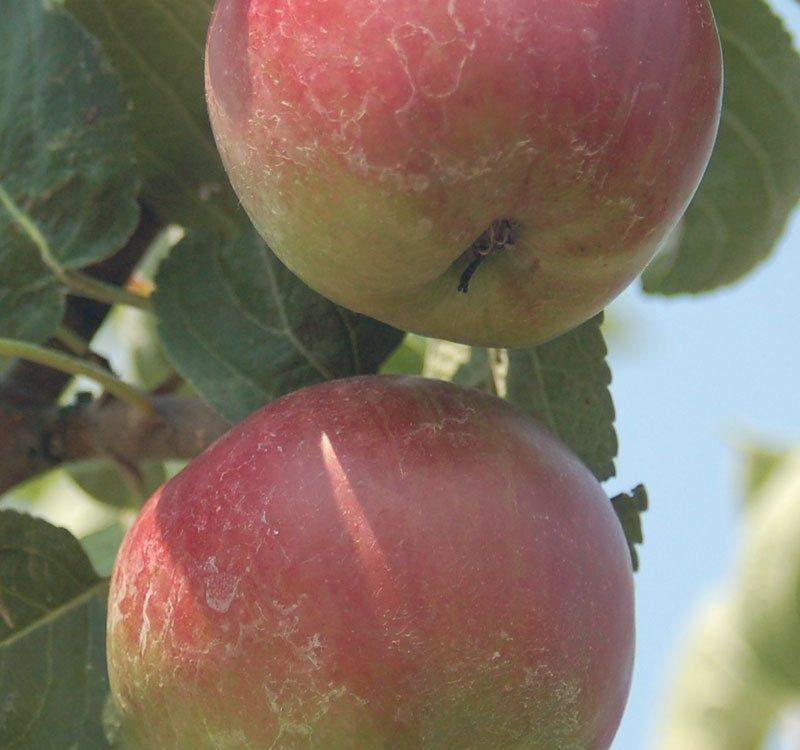 2018 fruit list johnson's nursery menomonee falls grower grow fruits orchard apple tree pear peach plum currant cherry ftimg