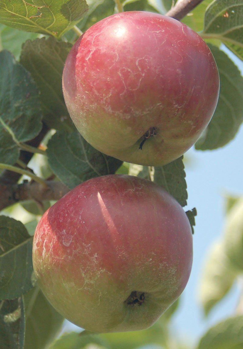 2018 fruit list johnson's nursery menomonee falls grower grow fruits orchard apple tree pear peach plum currant cherry ftimg