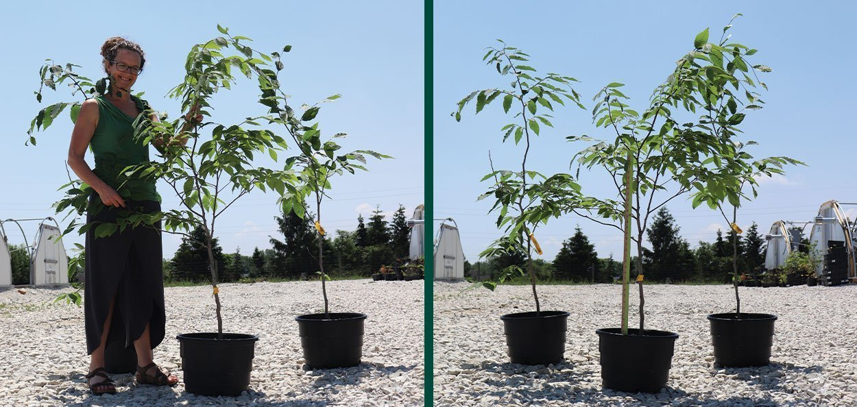 american beech fagus grandiflora #5 rootmaker containers at johnson's nursery