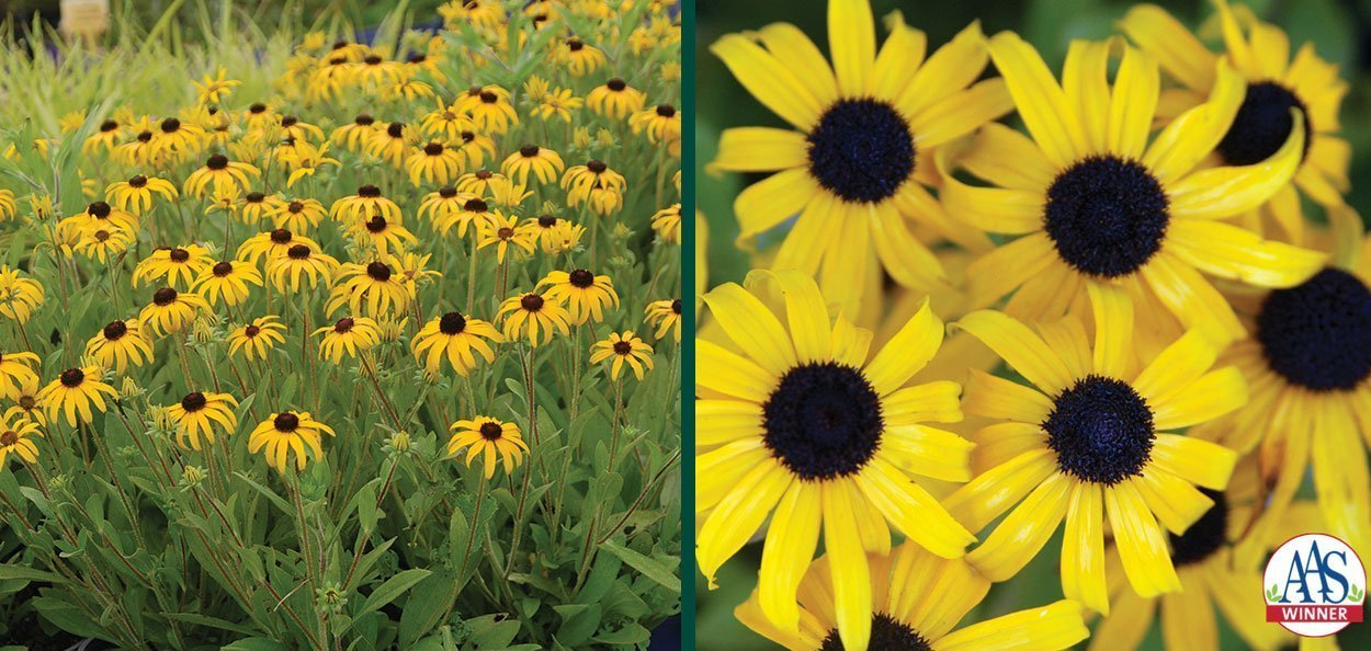 american gold rush rudbeckia all american selection winner yellow black eye susan