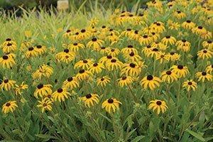 american gold rush rudbeckia johnson's nursery black eyed susan catalog