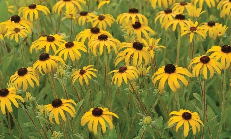 american gold rush rudbeckia johnson's nursery black eyed susan ftimg