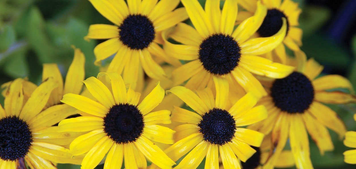 american gold rush rudbeckia yellow flower summer perennials johnson's nursery wisconsin plants