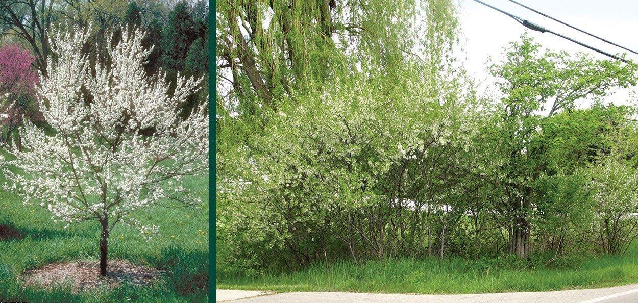american plum prunus americana wisconsin native shrub clean in single stem tree of colonizing thicket