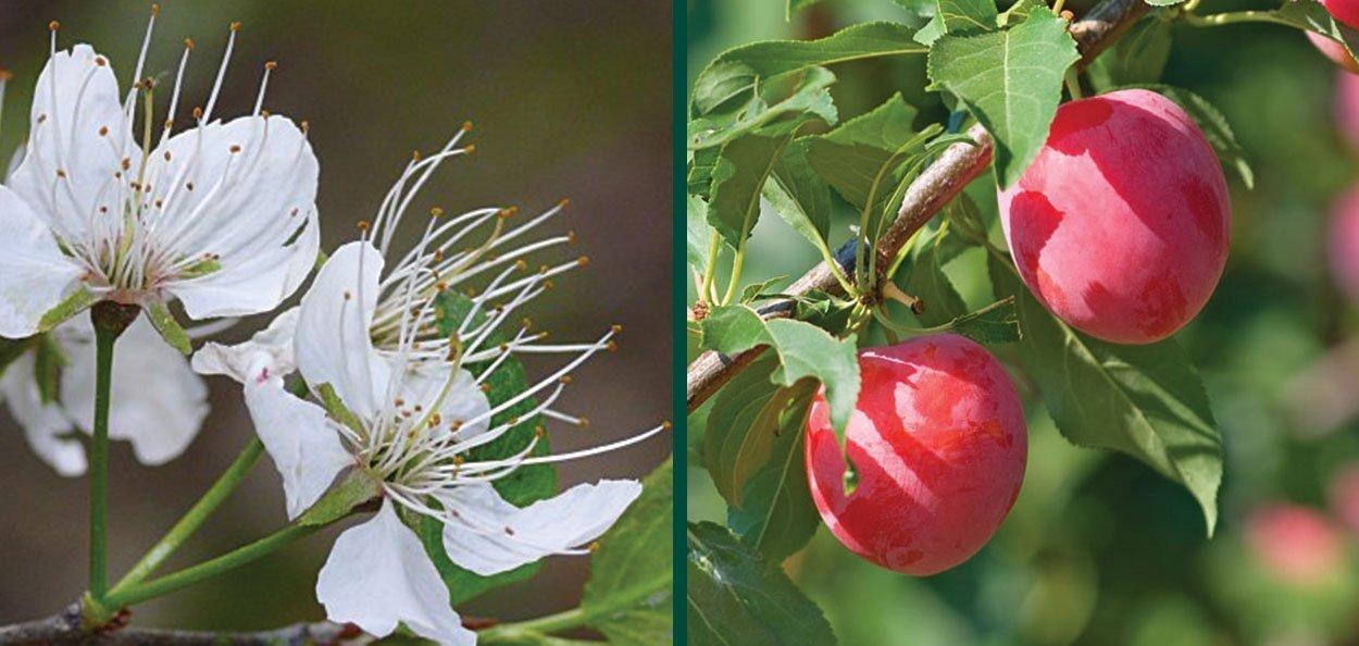 american plum prunus americana wisconsin native shrub small white flowers in spring red fruit in summer