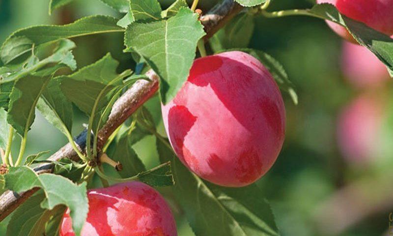 american plum prunus americana wisconsin native shrub tree johnson's nursery ftimg
