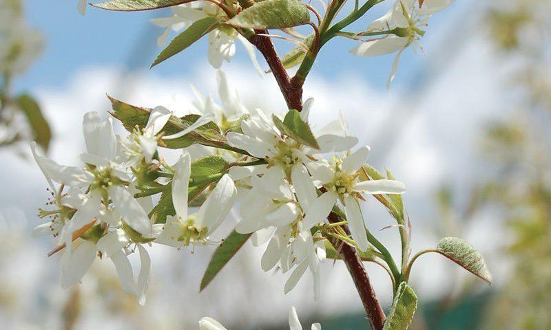 autumn brilliance serviceberry amelanchier grandiflora ftimg2