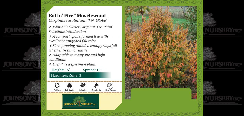 Ball o' Fire™ Musclewood Carpinus caroliniana 'J.N. Globe' benchcard