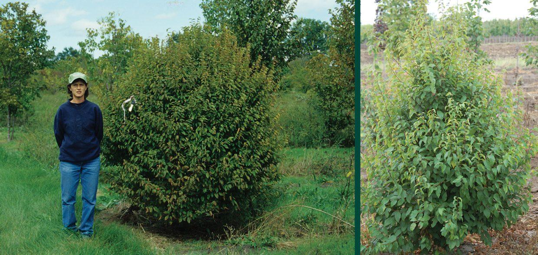 ball o fire musclewood carpinus caroliniana jn globe green foliage