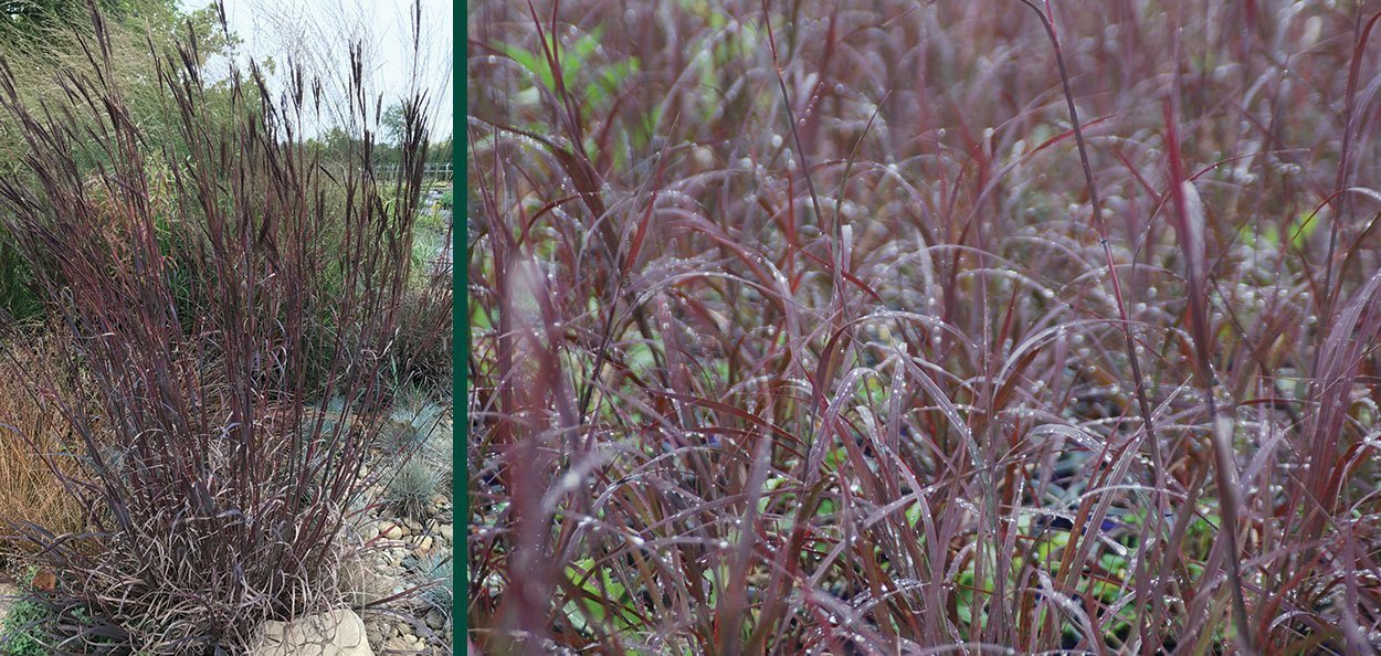 blackhawks big bluestem andropogon gerardii purple landscape ornamental grass in wisconsin