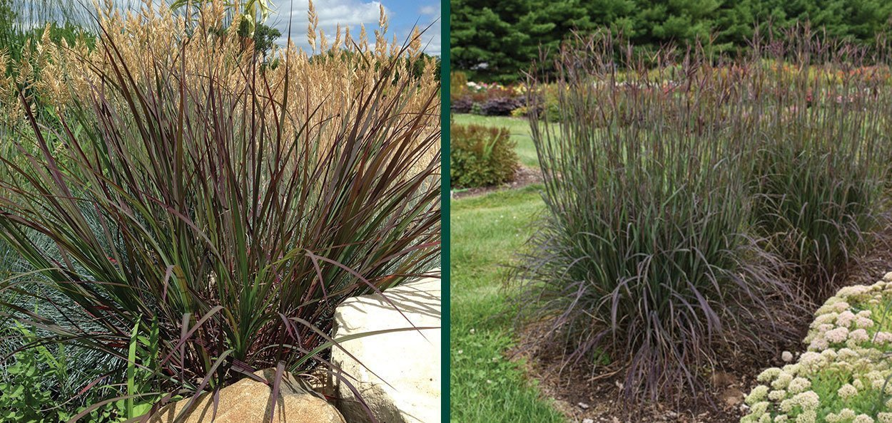 blackhawks big bluestem andropogon gerardii purple landscape ornamental grasses