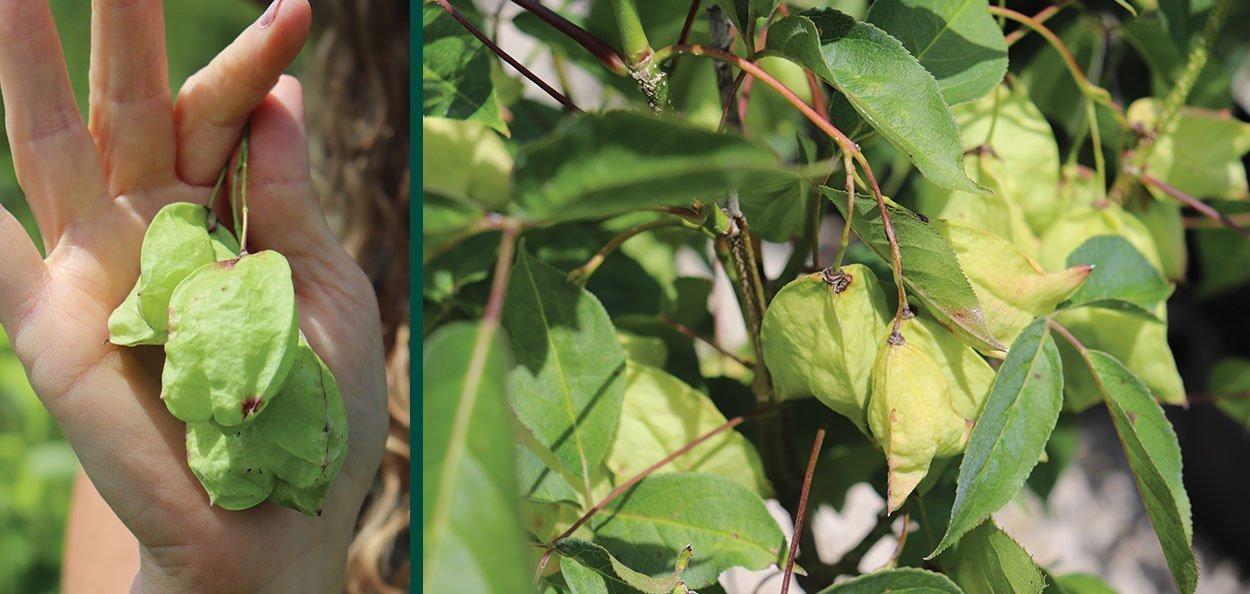 bladdernut staphylea trifolia wisconsin native shrub at johnson's nursery mature green seed capsules