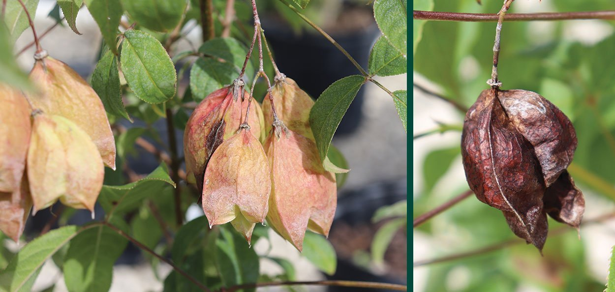 bladdernut staphylea trifolia wisconsin native shrub at johnson's nursery spent bladder seed capsules